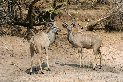 A pair of Greater Kudu trying to decide what to do next