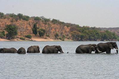 Elephants crossing the Chobe on their way to a late afternoon meal on the lush island grasses