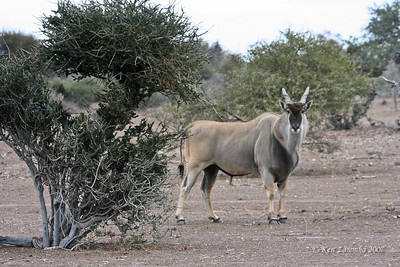A large male East African Eland