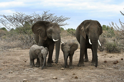 Two mother Elephants with very young children