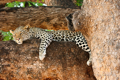 Leopard snoozing in a tree