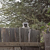 Black-faced Vervet Monkey observing what we are doing at Pete'e Pond, a National Geographic web cam observation site