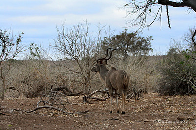 A Greater Kudu