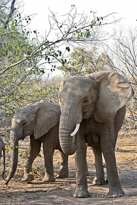 Mother Elephant and child making a meal out of some dry vegetation. They eat almost any growing vegetation.