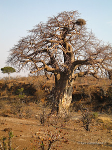 An infamous African Baobob Tree