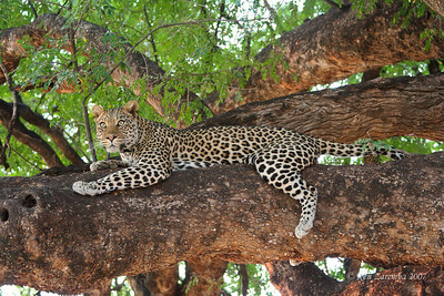 The Leopard is now fully locked in on the disturbance. What was it?