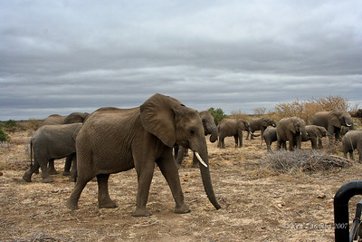 Herd of female Elephants and their chldren