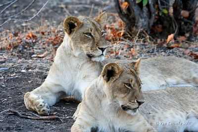 A couple of lionesses laying about and not too concerned about dinner, yet.