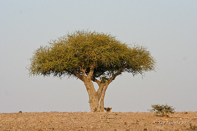 Lioness resting in the shade of a tree while trying to locate her sisters so she can rejoin them