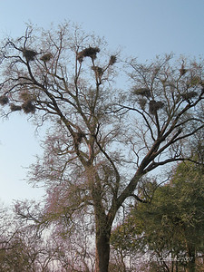 A tree full of weaver nests