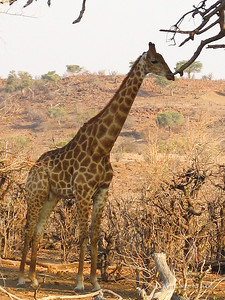 A Masai Giraffe, a most curious of animals