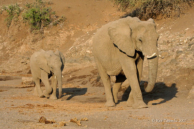 Elephants in a dry river bed trying to sniff out a place to dig for water