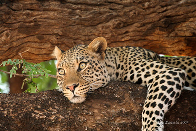 The snoozing Leopard is now awake. Something has caught its attention