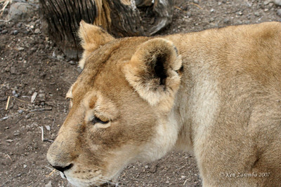 Lioneses at Mashatsu Safari Game Reserve in Botswana