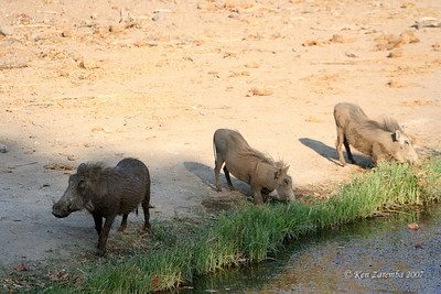 Thre Common Warthogs at the watering hole beside the Mashatu Main Camp