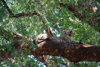 Leopard up a tree, a place they spend lots of time to avoid confrontation with lions