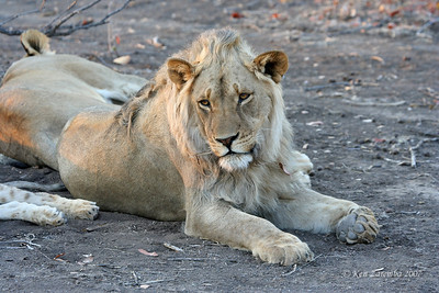 Male lion pondering if these lionesses are ever going to get off their butts and hustle up some dinner.