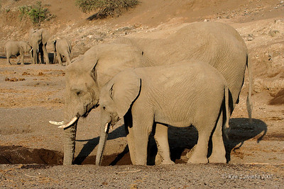 Elephants digging in the river bed trying to locate water.