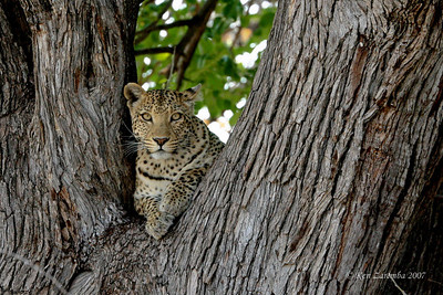 A beautiful Leopard resting in the tree crotch