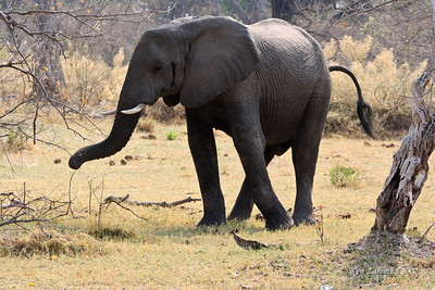 The other bull elephant is going to show his feelings in a different way. Up goes the tail