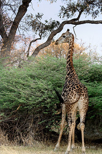 Masai Giraffe feeding on the high growth