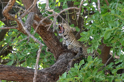 Leopard, up in a tree,  waking up