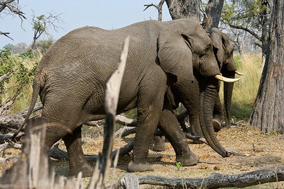 Two youg bull elephant not happy with our presense as they were on the road and we wanted to get around them