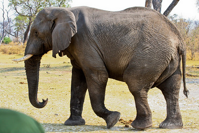 One bull elephant takes a stance to show a sign of derision.