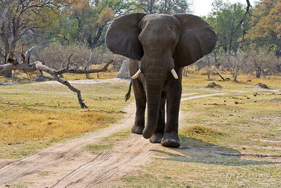 This bull Elephant is saying, you're starting to piss me off! Don't make me charge  you.