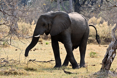 The young bull Elephant starts to turn his backside to us for the protest