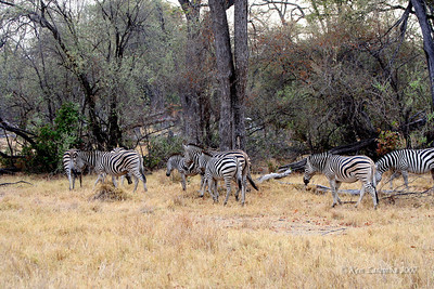 Burchell's Zebra, notice the brown stripes between the balck stripes