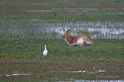 Red Lechwe. They live in swampy areas as they have splayed elongated hooves to enable them run in the swamps