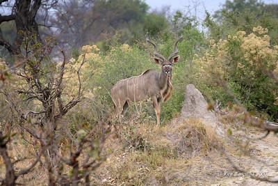 Greater Kudu on pose
