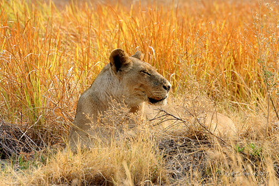 Lioness whose colors blend in with the tall grasses
