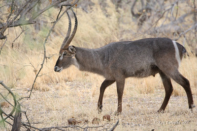 Common Waterbuck with target like markings on their butt