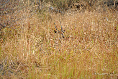 Common Duiker hiding in the tall grasses