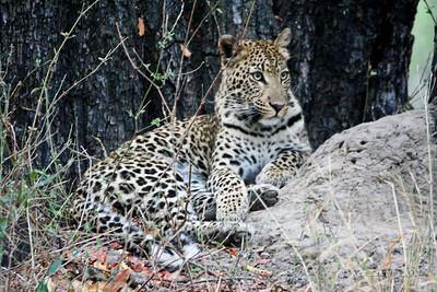 When we returned from a safari game drive this Leopard was sitting under a tree in front of one of the tents observing the Bushbucks feeding on the grass in the camp