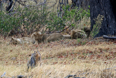 Two female llions and a male lion asleep under a tree. A sign that they have recently been well fed.