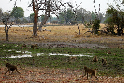 Yellow Baboon troop in swampy  Okavango Delta lands  Botswana
