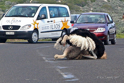 Common Ostrich mating, a real traffic stopper! South Africa