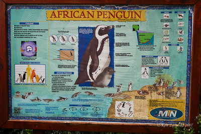 Lifecycle of the African or Jackass Penguin