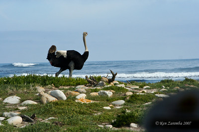 Male Common Ostrich, South Africa, Atlantic Ocean in the background
