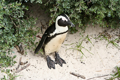 African Penguin, Jackass Penguin; South Africa