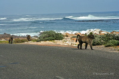 Chacma Baboon alongside the Atlantic Ocean