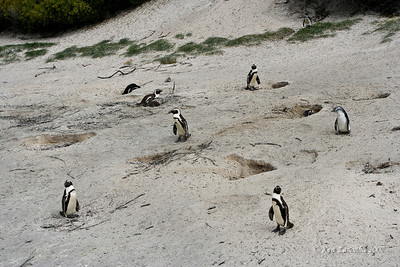 African Penguin or Jackass Penguin Colony. They dig holes or tunnels near the beach to lay their eggs.