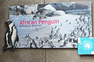 African or Jackass penguin