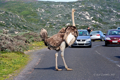 Female Common Ostrich, South Africa