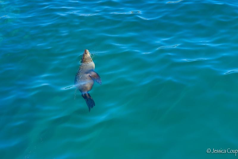 Seal Breaking Through
