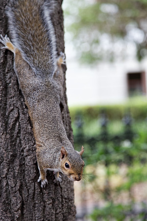 Squirrel, Company Gardens, Cape Town