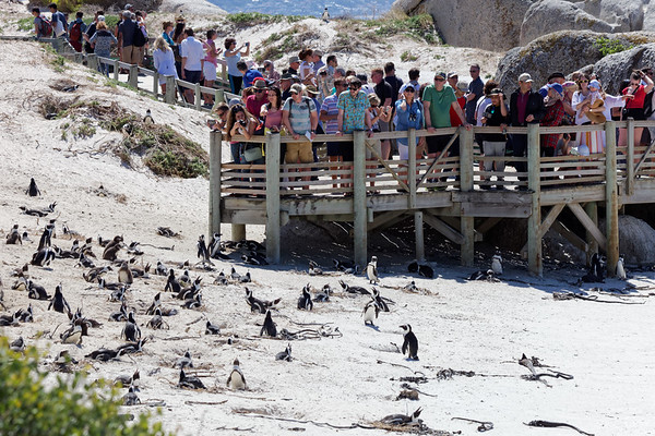 Tourists at the African, or Jackass, penguin colony at Boulders Beach near Simonstown in Cape Town
